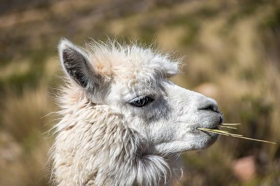 Alpaca appearance